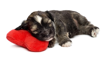 havanais: A cute sleeping valentine havanese puppy dog on a red heart, isolated on white background Stock Photo