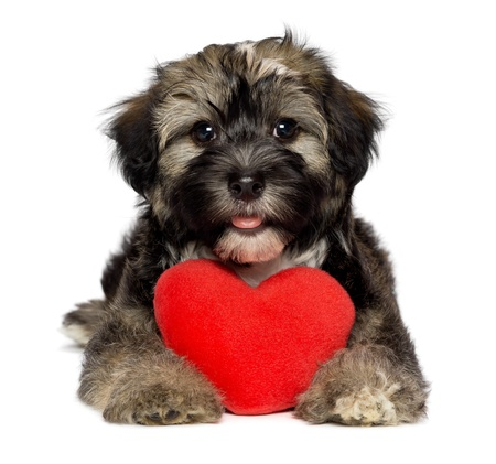 puppy love: Un amante lindo perrito perro havanese d�a de San Valent�n est� sosteniendo un coraz�n rojo, aislados en fondo blanco Foto de archivo