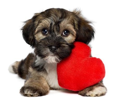 puppy love: Un lindo perrito havanese amante valentine perro con un corazón rojo, aislados en fondo blanco