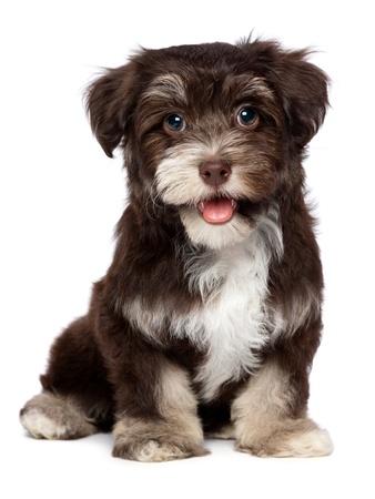 Een mooie glimlachende donkere chocolade havanese puppy hond is op zoek naar camera, geïsoleerd op witte achtergrond Stockfoto