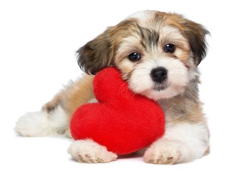 Een leuke minnaar valentine havanese puppy hond met een rood hart geïsoleerd op witte achtergrond