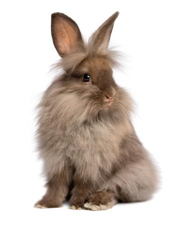 Een leuke zit chocoladekleurige Lionhead konijn, geïsoleerd op witte achtergrond