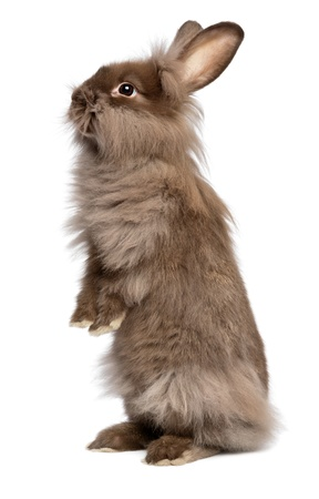 Een leuke staande chocoladekleurige Lionhead konijn, geïsoleerd op witte achtergrond