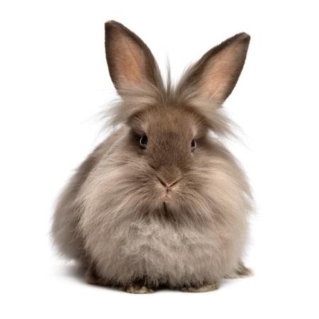 Een liggend chocoladekleurige lionhead konijn, geïsoleerd op een witte achtergrond