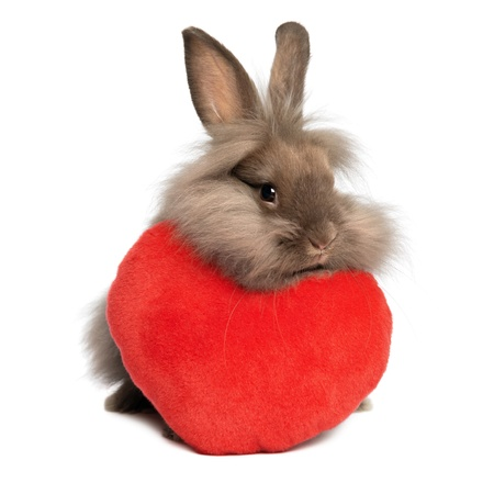 A cute valentine chocolate colored lionhead bunny rabbit with a red hearth, isolated on white background