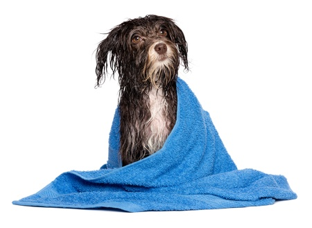 Wet dark chocolate havanese dog after the bath with a blue towel isolated on white background photo
