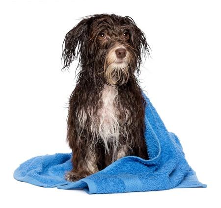 perros vestidos: Perro mojado chocolate negro havanese después del baño con una toalla azul aislado sobre fondo blanco