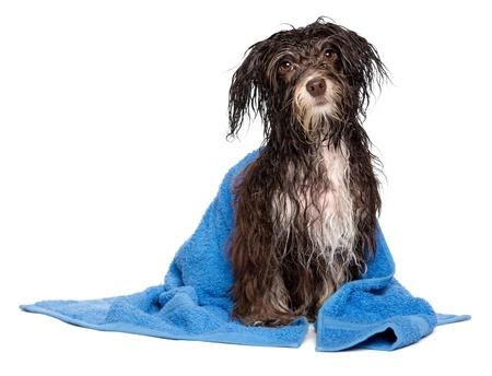 Natte donkere chocolade havanese hond na het bad met een blauwe handdoek geïsoleerd op witte achtergrond