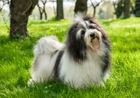 afield: Cute Havanese dog is standing in a beautiful sunny grassy field Stock Photo