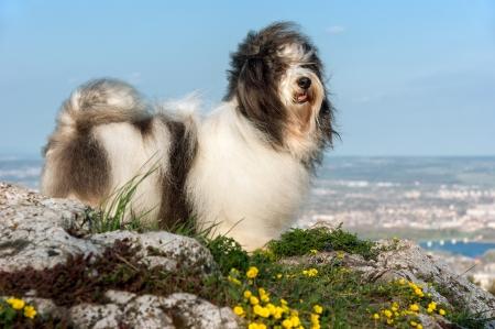 dog rock: Cute Havanese dog is standing on a rocky mountain in wind, beneath a city landscape