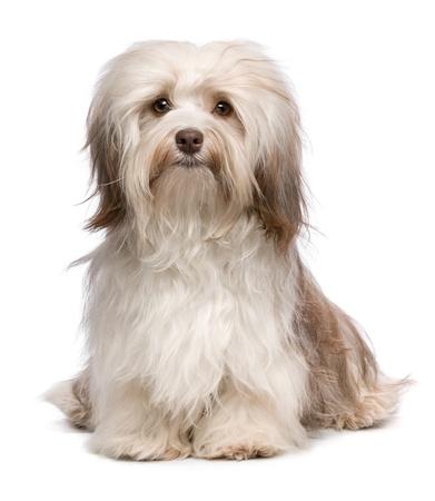 아름다운 앉아 초콜릿 된 Havanese 개는 카메라를 찾고 흰색 배경에 절연