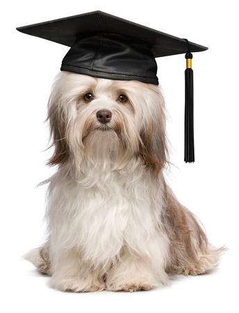 Mooie trots afstuderen chocolade havanese hond met zwarte dop op een witte achtergrond Stockfoto