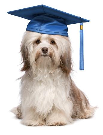 birrete: Hermosa orgullosos de graduación del chocolate perro bichón habanero con gorra azul aislado en fondo blanco