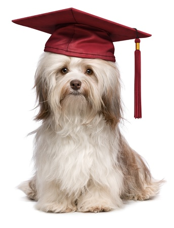 Beautiful proud graduation chocolate havanese dog with red cap isolated on white background