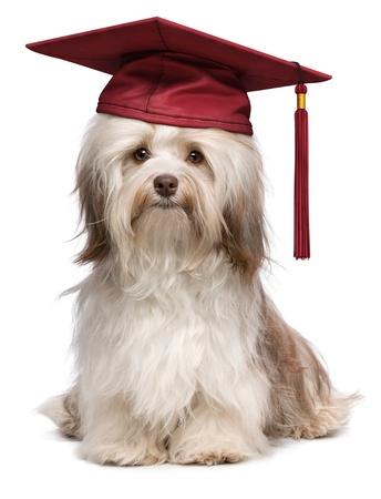 Mooie trots afstuderen chocolade havanese hond met rode dop op een witte achtergrond Stockfoto