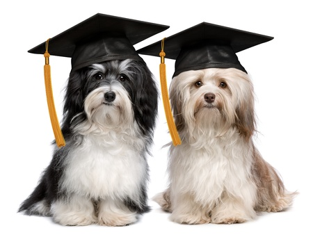 dog school: A pair of proud graduation havanese dogs with cap isolated on white background
