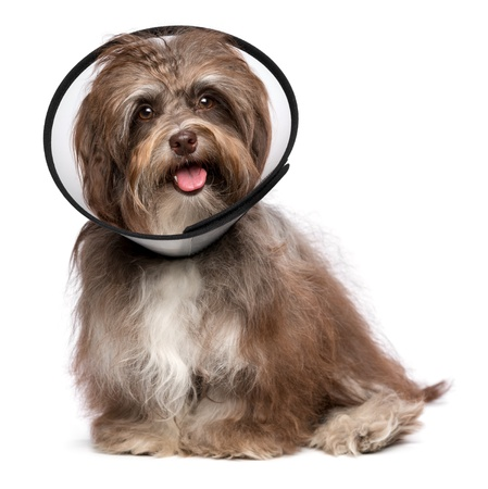 Sick and happy chocolate havanese dog with a funnel collar will be healthy soon again, isolated on white photo