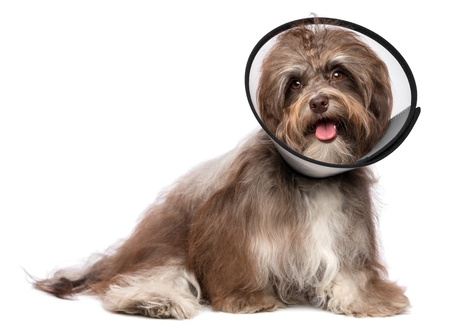 convalesce: Sick and happy chocolate havanese dog with a funnel collar will be healthy soon again, isolated on white