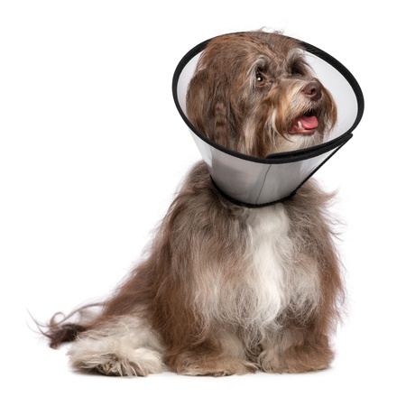 havanais: Sick and happy chocolate havanese dog with a funnel collar will be healthy soon again, isolated on white