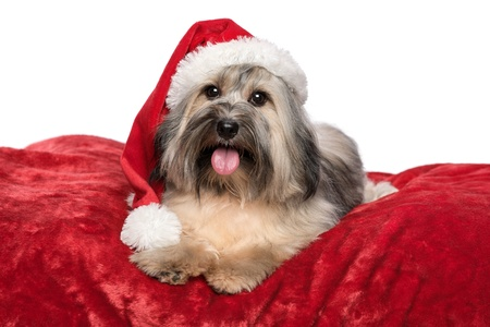 Cute Bichon Havanese dog in a Christmas - Santa hat is lying on a red velvet blanket. Isolated on a white background photo