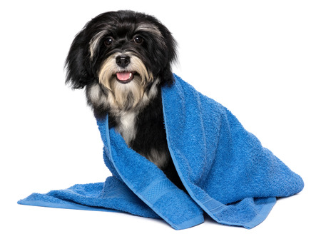 A happy dry havanese puppy dog after bath is dressed in a blue towel, isolated on white background