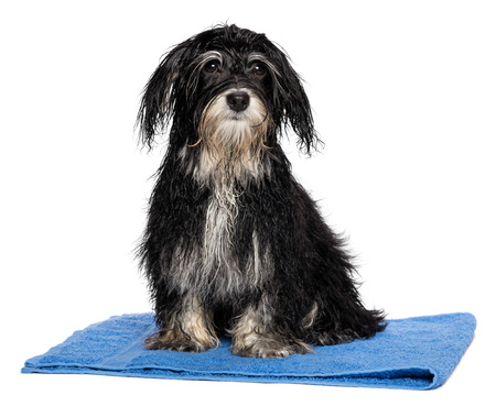 A wet havanese puppy dog after bath is sitting on a blue towel, isolated on white background photo