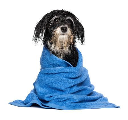 Een natte havanese puppy hond na bad is gekleed in een blauwe handdoek, geïsoleerd op witte achtergrond