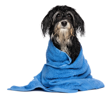 A wet havanese puppy dog after bath is dressed in a blue towel, isolated on white background Standard-Bild