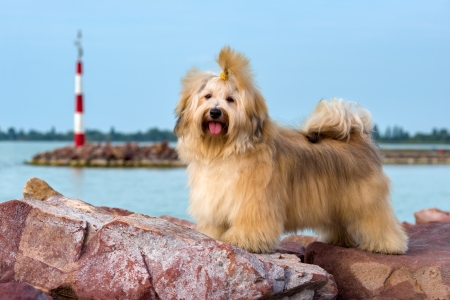 dog rock: Cute reddish Havanese dog is standing on some rocks near a harbor shore, looking at camera