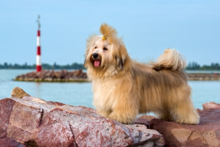 havanais: Cute reddish Havanese dog is standing on some red rocks near a harbor shore, looking into the distance Stock Photo