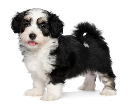 A beautiful happy tricolor havanese puppy dog is standing and looking at camera, isolated on white background