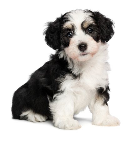 A beautiful tricolor havanese puppy dog is sitting and looking at camera, isolated on white background