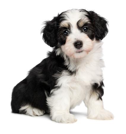Een mooie tricolor havanese puppy hond zitten en kijken naar camera, geïsoleerd op een witte achtergrond
