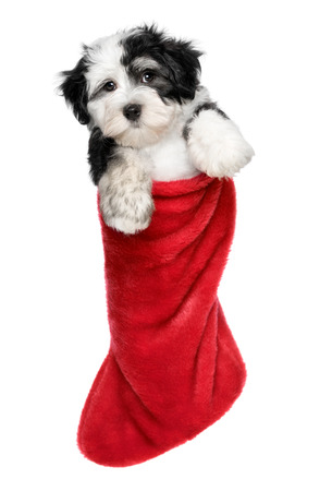 Cute Bichon Havanese puppy dog is hanging on a Christmas - Santa boots. Isolated on a white background photo