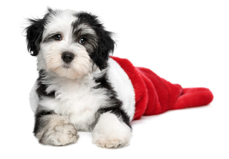 Cute Bichon Havanese puppy dog is lying in a Christmas - Santa boots. Isolated on a white background photo