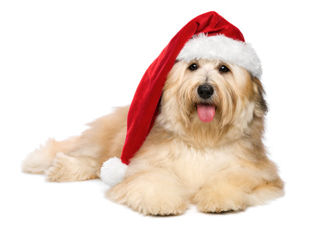 havanese: Cute reddish lying Bichon Havanese puppy dog in a Christmas - Santa hat  Isolated on a white background Stock Photo