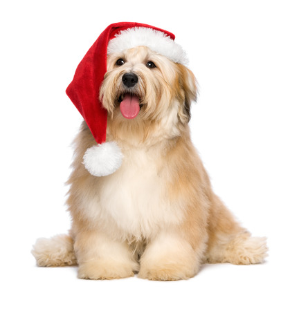 sitting dog: Cute reddish sitting Bichon Havanese puppy dog in a Christmas - Santa hat  Isolated on a white background