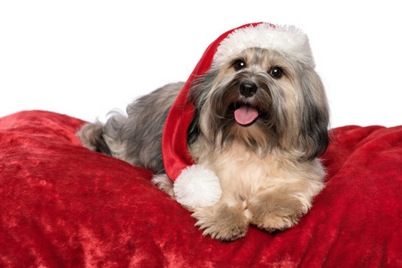 Cute Bichon Havanese dog in a Christmas - Santa hat is lying on a red velvet blanket  Isolated on a white background photo