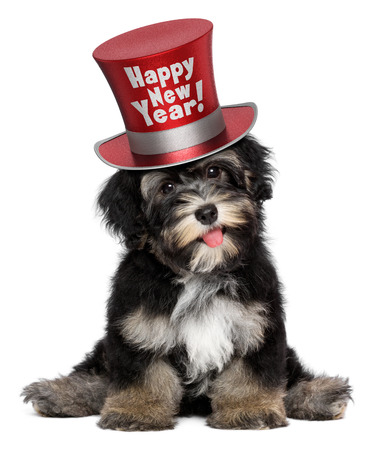 A happy smiling havanese puppy dog is wearing a red Happy New Year top hat, isolated on white background