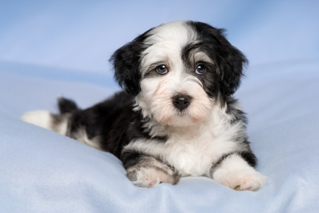 havanais: A cute havanese puppy dog is lying on a blue blanket and looking at camera