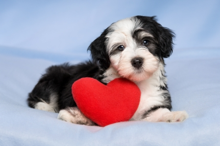 A cute lover valentine havanese puppy dog with a red heart is lying on a blue blanket