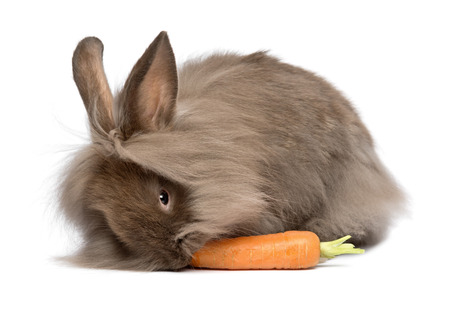 lionhead: A cute chocolate colored mini lionhead bunny rabbit is eating a carrot, isolated on white