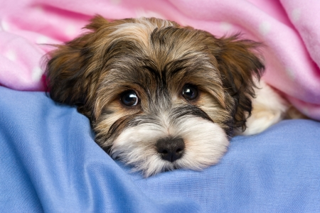 havanais: Close-up portrait of a cute little tricolor Havanese puppy dog is lying on a bed under a pink blanket.