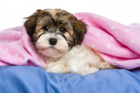 havanais: Cute little tricolor Havanese puppy dog is lying on a bed under a pink blanket. Stock Photo