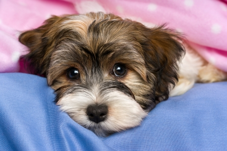 Close-up portrait of a cute little tricolor Havanese puppy dog is lying on a bed under a pink blanket.