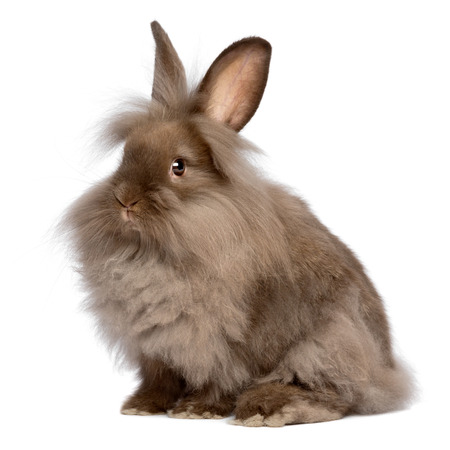 lionhead: A cute sitting chocolate colored lionhead bunny rabbit, isolated on white background