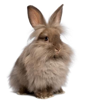 Een leuke zittende chocolade gekleurde lionhead konijn, geïsoleerd op een witte achtergrond