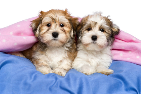 Two cute little Havanese puppies are lying on a bed under a pink blanket  Isolated on a white background