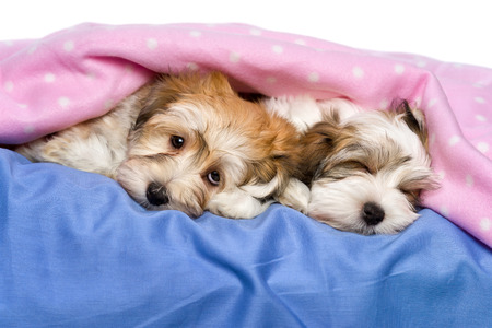 havanais: Two cute little Havanese puppies are lying and sleeping on a bed under a pink blanket  Isolated on a white background  Stock Photo
