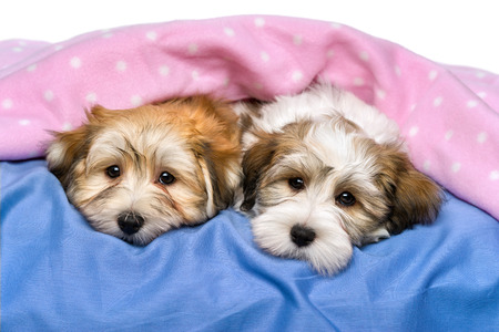Two cute little Havanese puppies are resting on a bed under a pink blanket  Isolated on a white background  photo
